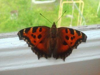 Приірпіння заполонили метелики
