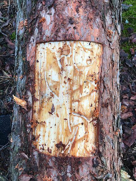 2707_dereva_3 Ліси Бородянщини потерпають від короїда