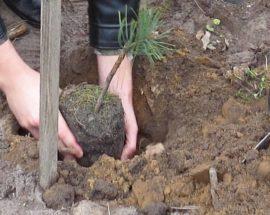 Фастівські лісники висаджують ліс за новими технологіями