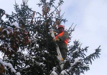 У Фастівському лісгоспі збирають урожай шишок хвойних дерев