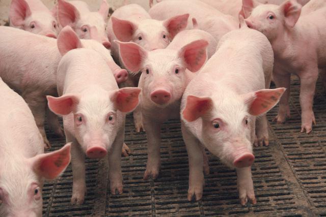 Африканська чума свиней: до зони нагляду увійшли Буча та навколишні села