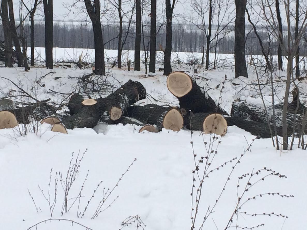 На Київщині незаконно вирубали 68 дубів захисного лісонасадження