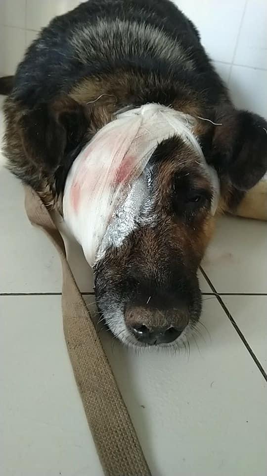 У Борисполі садисти познущалися над псом - Поліція, пес, Бориспіль - 55933721 2371789836376138 345667514966999040 n