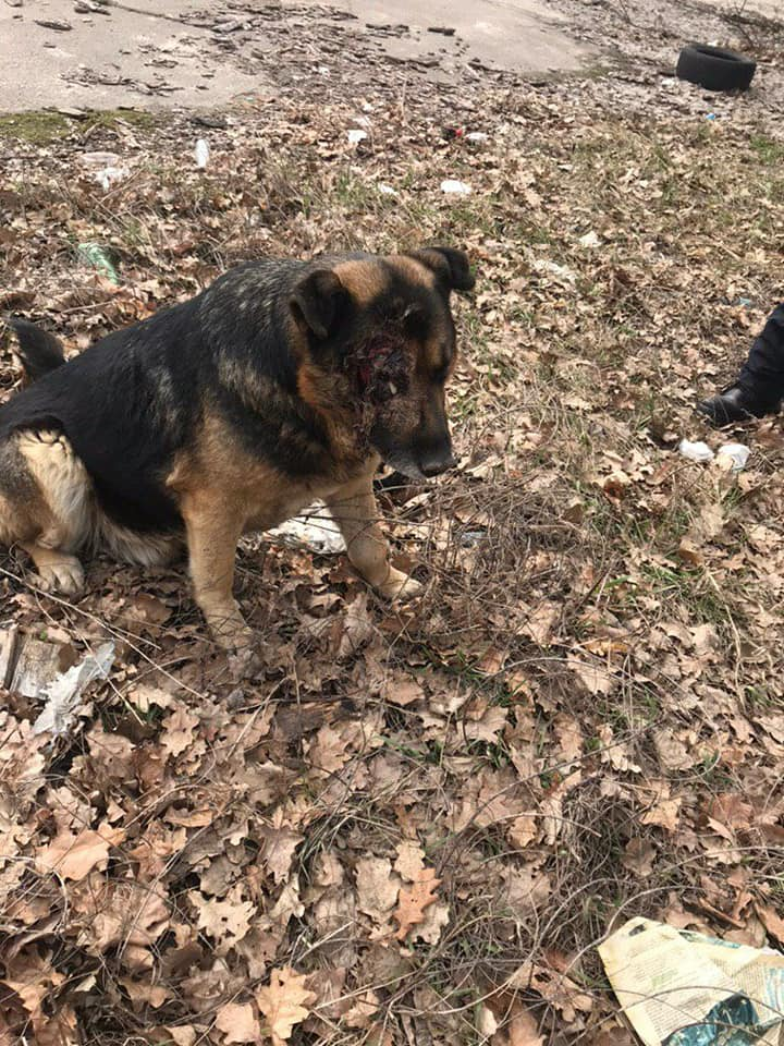 У Борисполі садисти познущалися над псом - Поліція, пес, Бориспіль - 56341723 2371789866376135 5835055277430276096 n