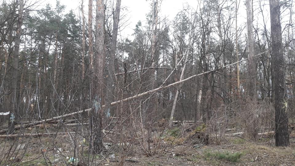 Наслідки буревію у Приірпінні — нещадне нищення захисного зеленого пояса?