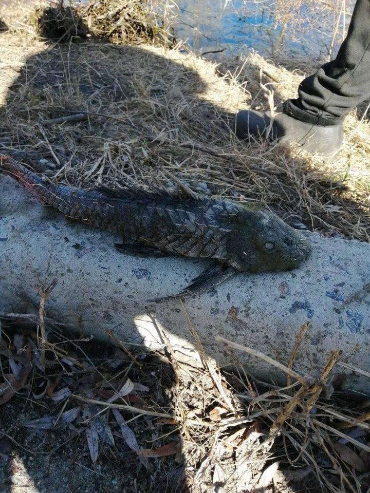 Ірпінський «монстр»: у річці Ірпінь виловили незвичну рибу