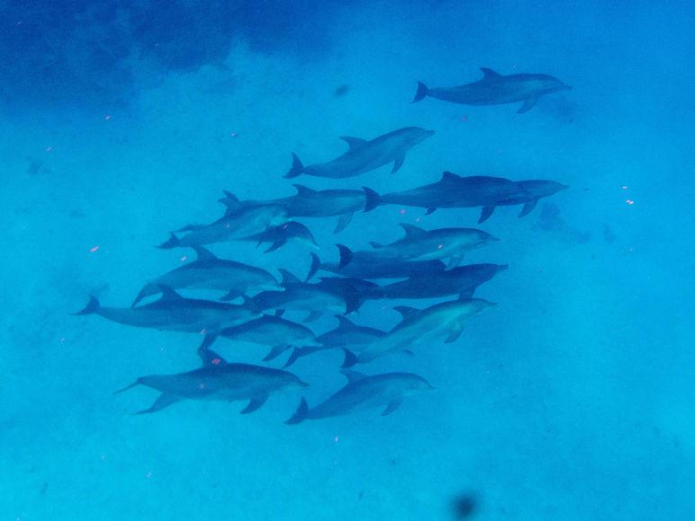 Українські науковці допоможуть порахувати дельфінів у Чорному морі