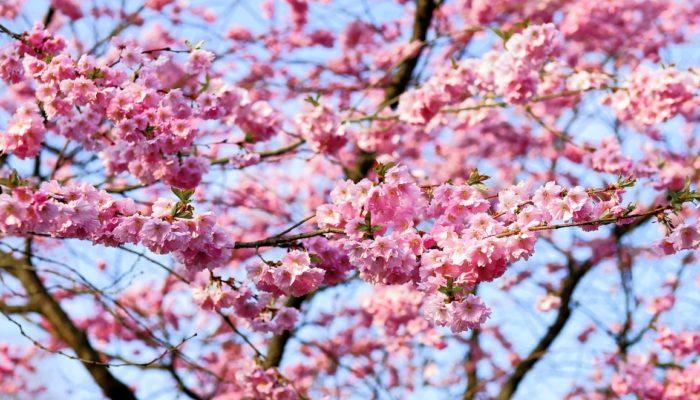 304_sakura Більше тисячі дерев та 4 км уквітчаних вулиць: першою сакура зацвіте в Мукачево