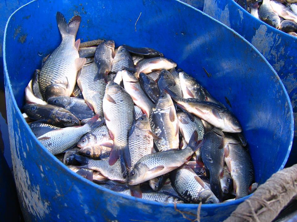 Більше трьох тонн малька випустили до водойм Київщини -  - 57198736 2172872369455943 4995403975814545408 n