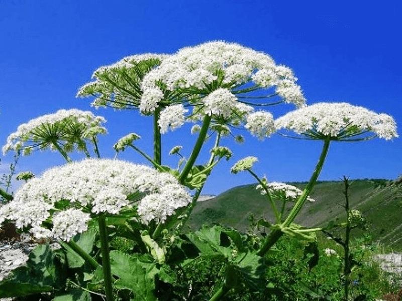 Де росте борщівник: допоможіть виявити рослину, що викликає страшні опіки -  - 10465 281
