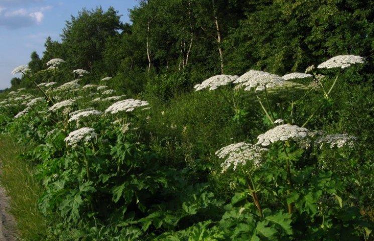 Борщівник атакує: як боротись з отруйною рослиною - хімзахист, рослини, опіки, довкілля, агросектор - 115665