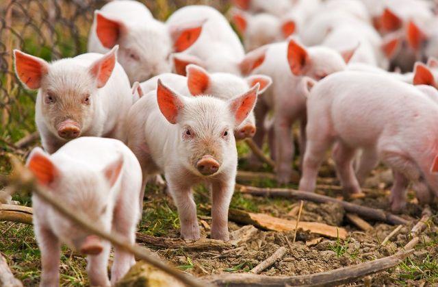 На Бородянщині зафіксовано спалах африканської чуми свиней - Африканська чума свиней, африканська чума - 1305 chuma