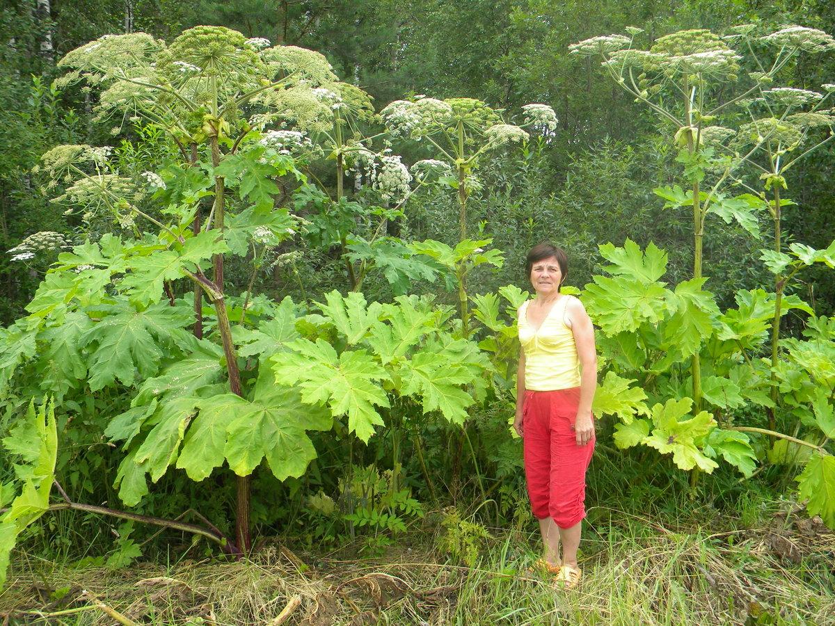 Де росте борщівник: допоможіть виявити рослину, що викликає страшні опіки -  - 1371348 original