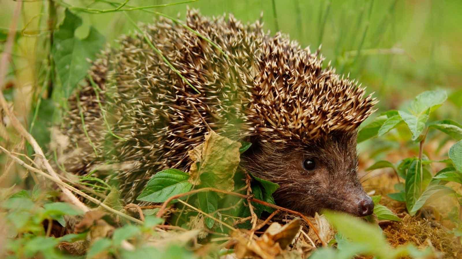 Їжаки опинилися під загрозою зникнення - популяція диких тварин - 2005 ezh