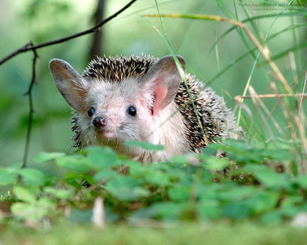Їжаки опинилися під загрозою зникнення - популяція диких тварин - 2005 ezh2