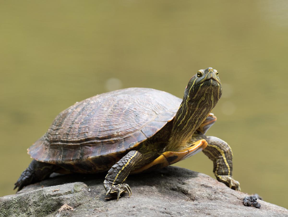2305_cherepaha3 Всесвітній день черепахи: цікаві факти та секрет довголіття
