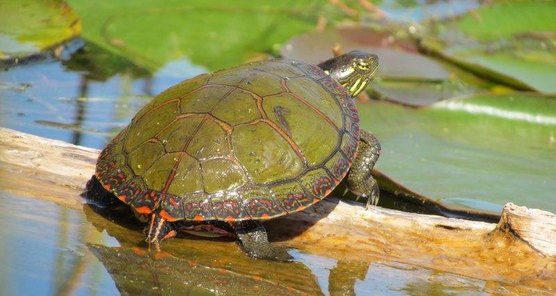 2305_cherepaha5 Всесвітній день черепахи: цікаві факти та секрет довголіття