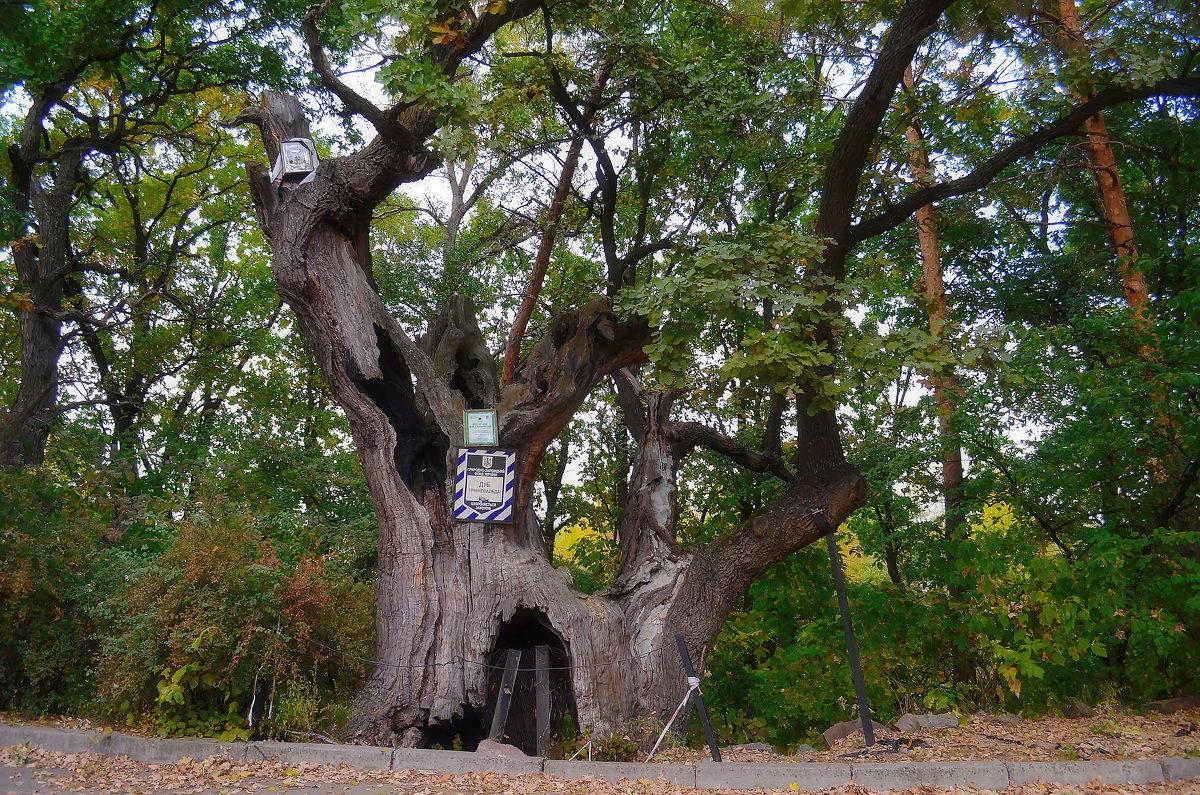 2905_karta1 Дерева-свідки історії: про що розповість мапа найстаріших дерев України