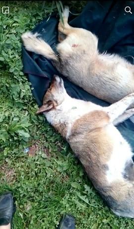 В Обухові нелюд вбиває собак -  - 60096603 295759531333079 7476878956654755840 n