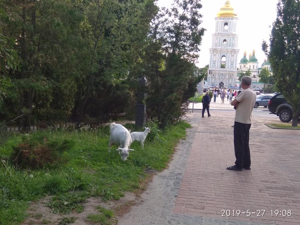 Київ - зелене місто. Доведено козами.. -  - 61233930 2426035467440618 1789501083110866944 n
