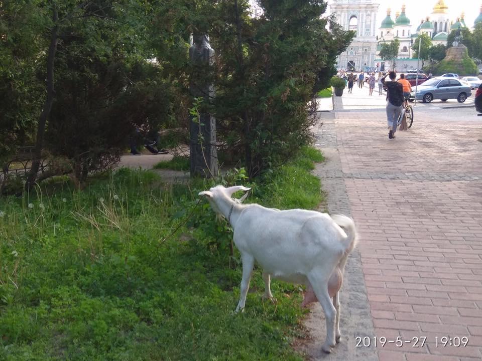 Київ - зелене місто. Доведено козами.. -  - 61287117 2426035470773951 2482815861040087040 n