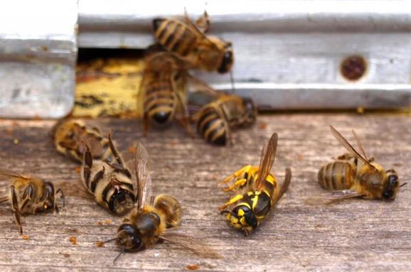 На Київщині масово гинуть бджоли - хімзахист, Ставищенський район, Володарський район, бджоли, агросектор - im578x383 bee gusiyabloni