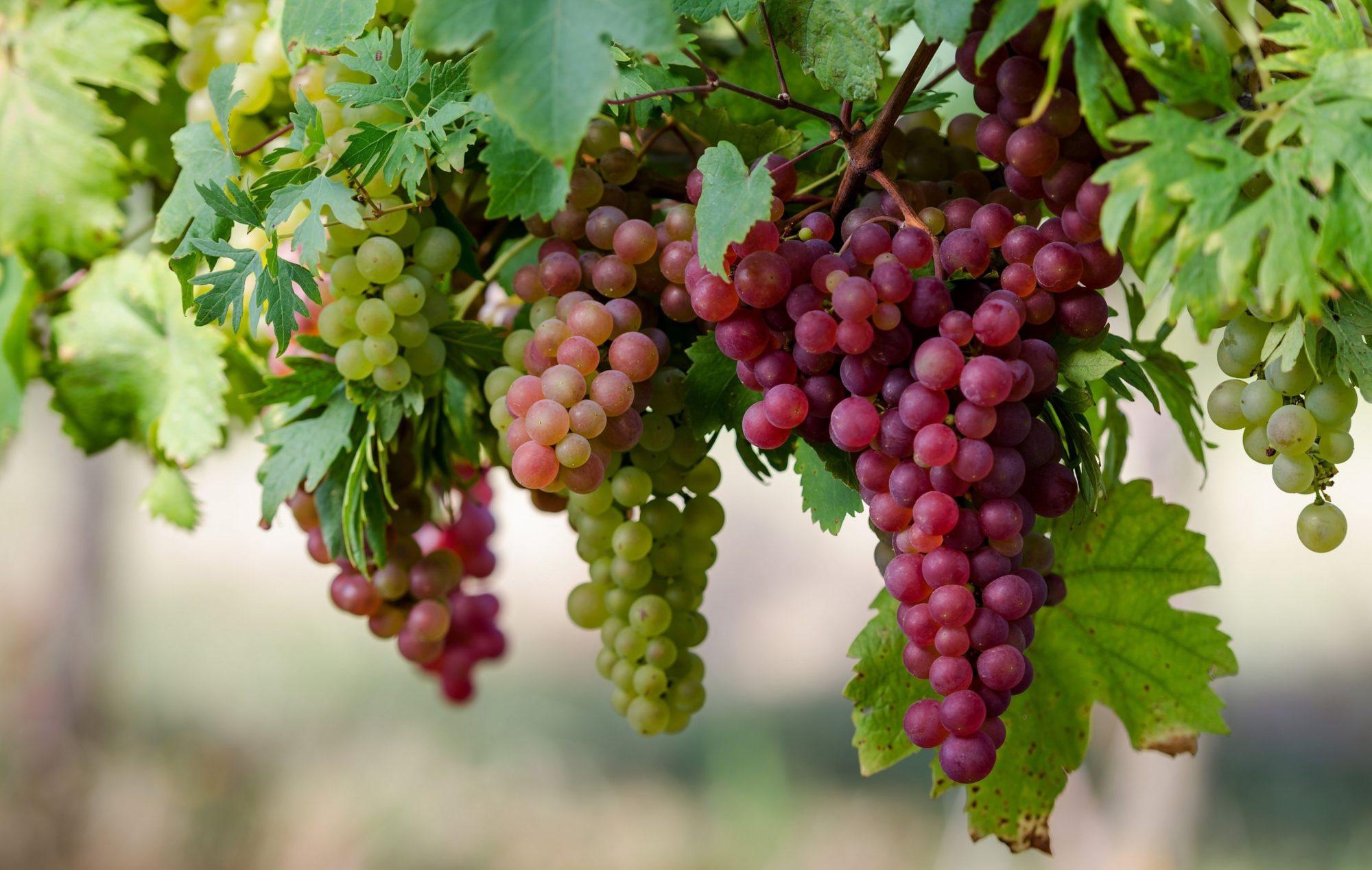 Вчені створили сорт винограду для Київщини - київщина, агросектор - vinograd 2000x1268