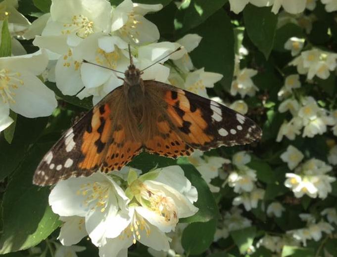 Нашестя метеликів на Київщині
