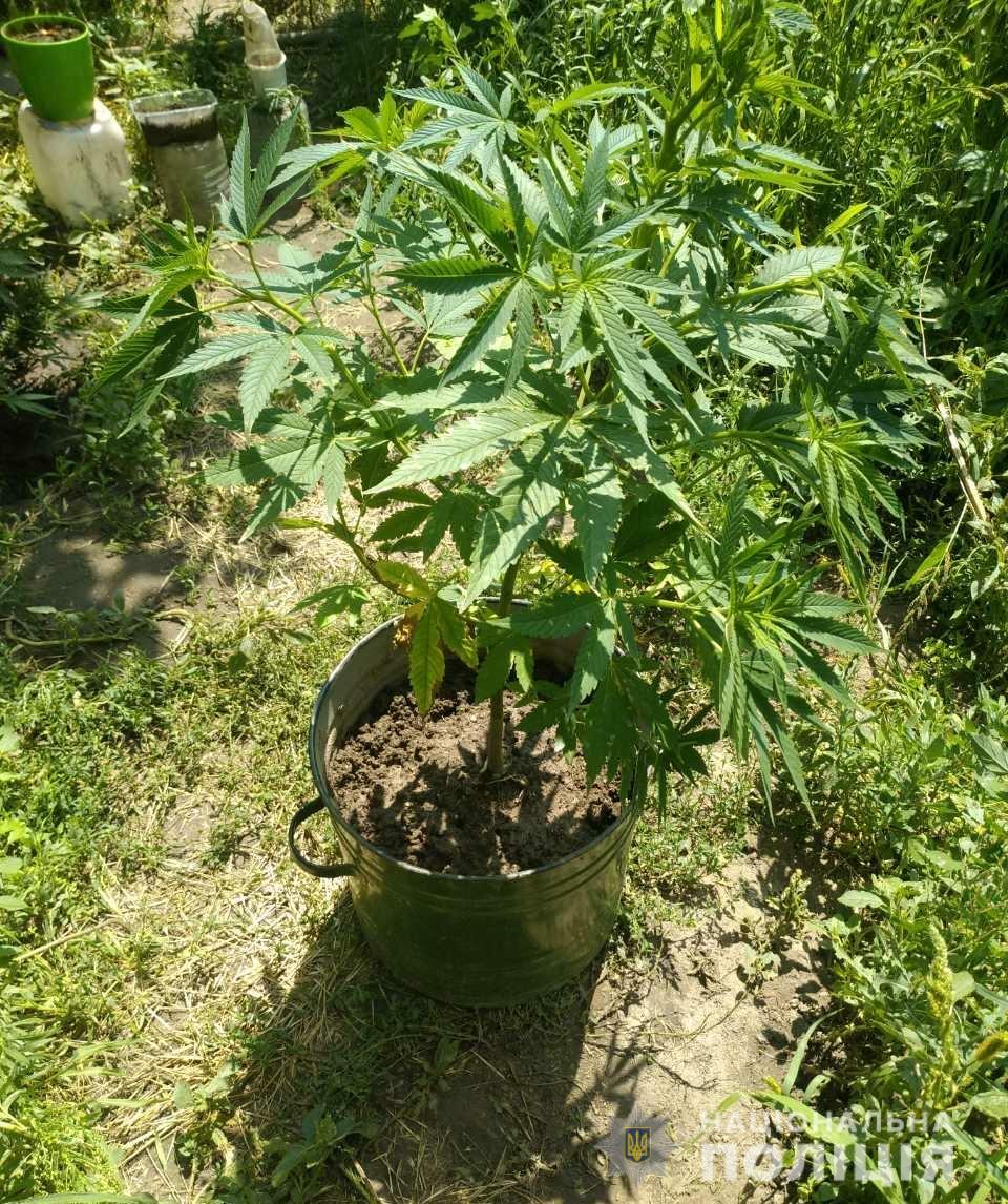 Конопля многолетнее растение семя конопли как выглядит