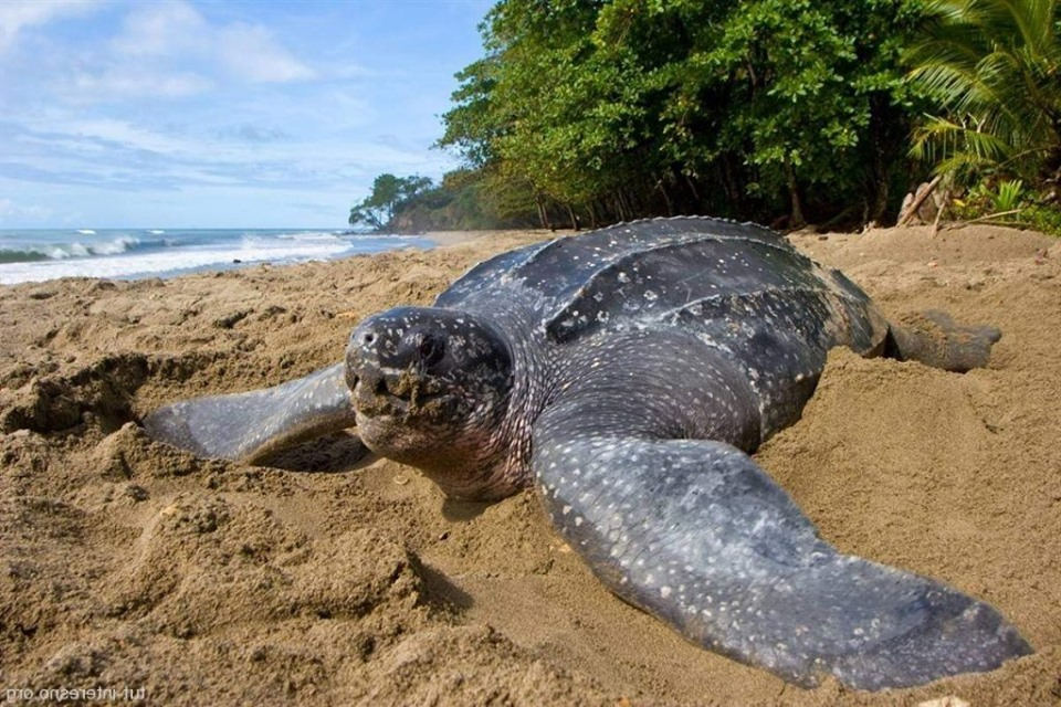 Зміна клімату може призвести до вимирання морських черепах - черепахи, клімат, глобальні зміни клімату, вимирання тварин - 05 cherepaha