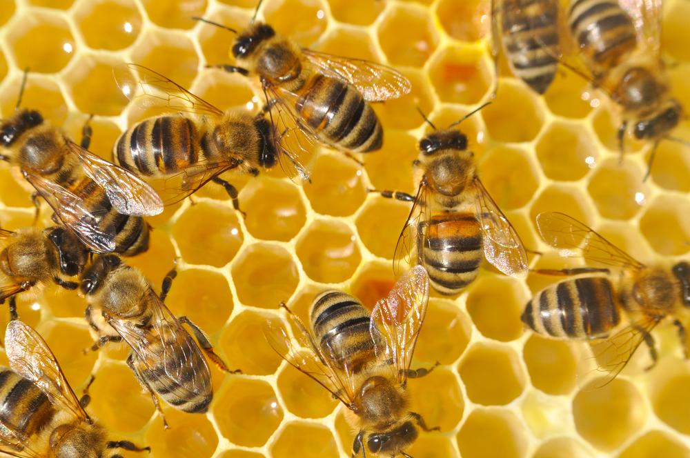 09_pchela Збитки в розмірі 120 млн грн: через отруєння пестицидами в Україні загинуло 40 тисяч бджолосімей