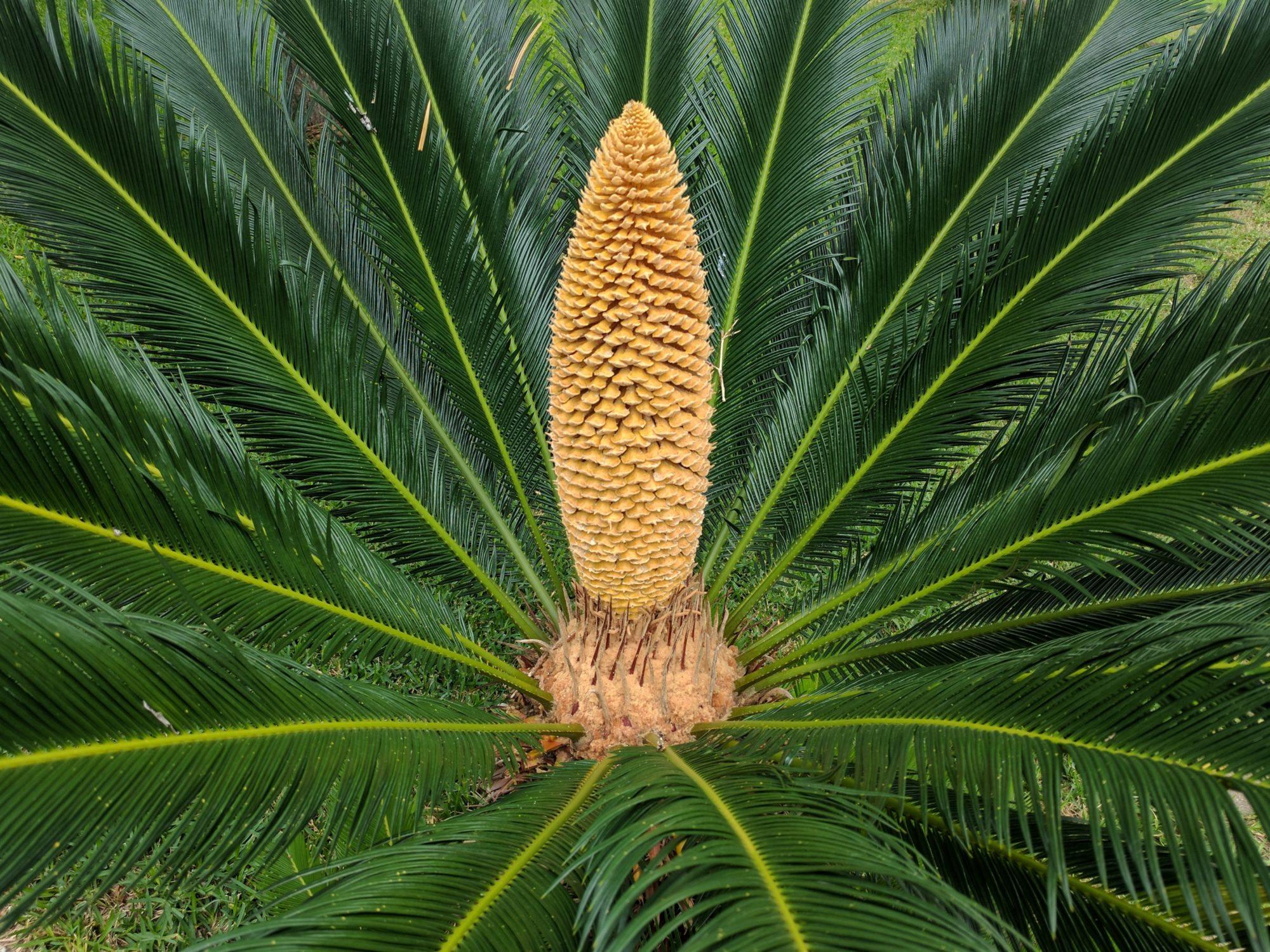 Один раз на 60 млн років: на древній рослині вперше з'явилися шишки - температурні рекорди - 29 derevo 2000x1500