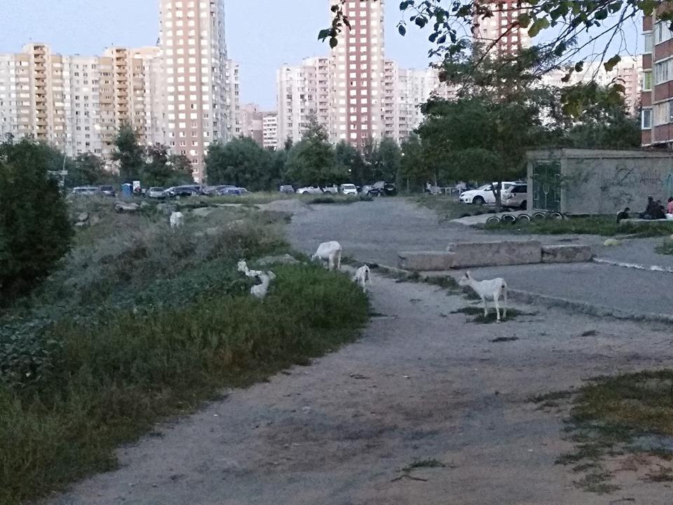 Пасовище між висоток: у столичних дворах гуляють кози -  - 68954178 2406190119495201 3148866697675407360 n