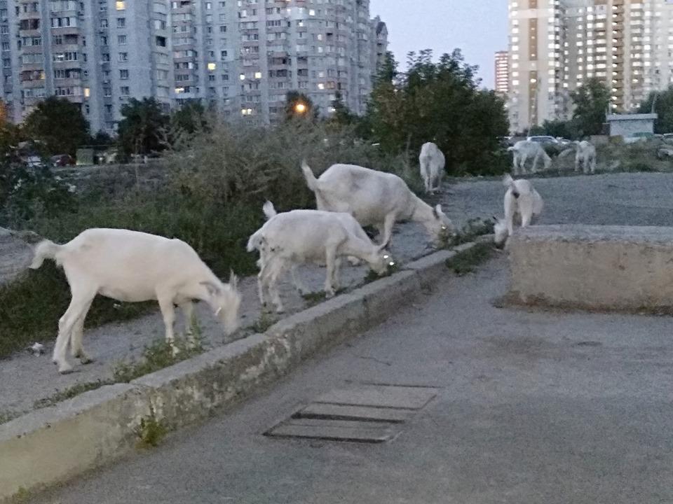 Пасовище між висоток: у столичних дворах гуляють кози -  - 69380366 2406189672828579 6239042190509604864 n