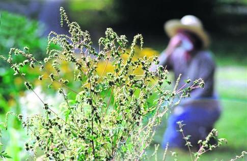 На Фастівщині попередили про небезпеку від амброзії - Фастівщина, Амброзія, алергія - 9ee9144cd7a54b2853c579b103ae24ba