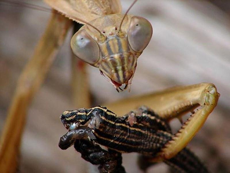 Bogomol-3 Богомол в Ірпені: письменник Валентин Собчук розповів про рідкісну для нашого краю комаху