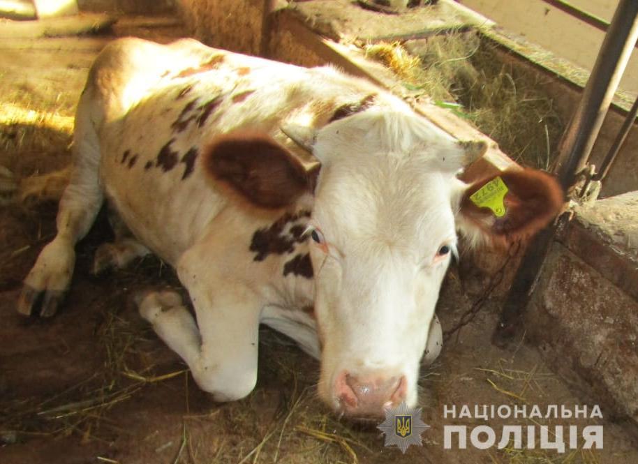 WhatsApp-Image-2019-08-20-at-12.46.18 Віддай корову - отримай в щелепу: в Броварах здійснено напад на ферму