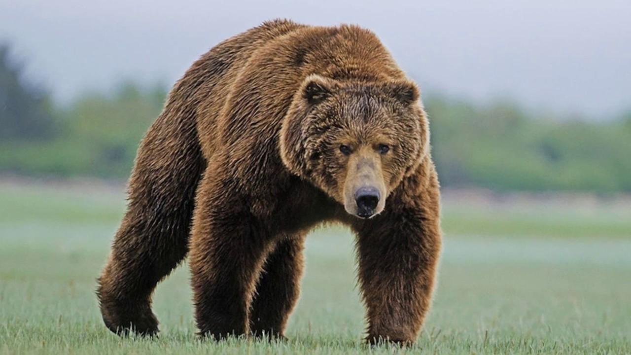 16_medved4 Ведмеді почали частіше нападати на людей, – вчені пояснили з чим це пов'язано