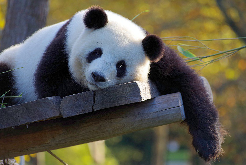 18_panda У Китаї збираються клонувати панд: мамою ведмежати може стати звичайна кішка