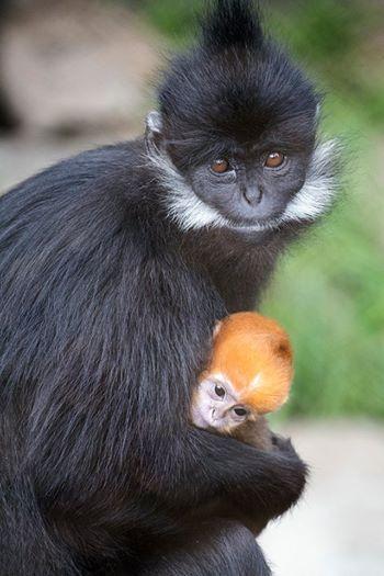 Шанс на порятунок: в американському зоопарку народилася рідкісна мавпа (ВІДЕО) - захист тварин - 23 mavpa