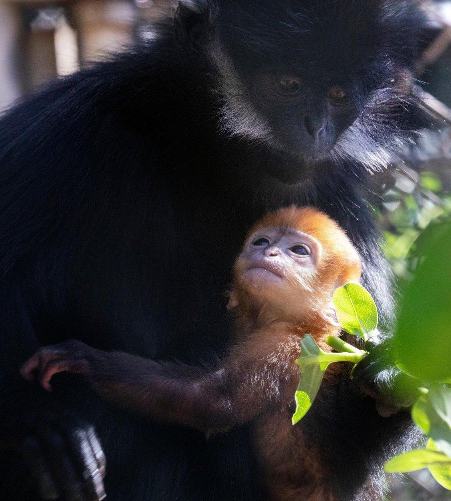 Шанс на порятунок: в американському зоопарку народилася рідкісна мавпа (ВІДЕО) - захист тварин - 23 mavpa2