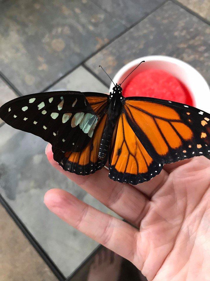 Американка провела ювелірну операцію по заміні зламаного крила метелика (ВІДЕО) - комаха - 21 metelyk