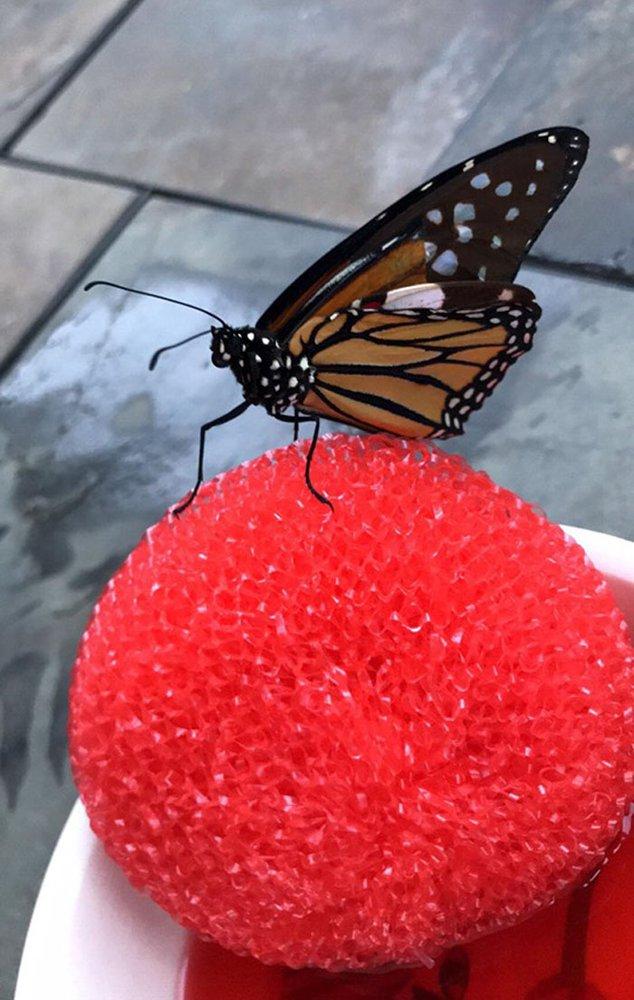 Американка провела ювелірну операцію по заміні зламаного крила метелика (ВІДЕО) - комаха - 21 metelyk3