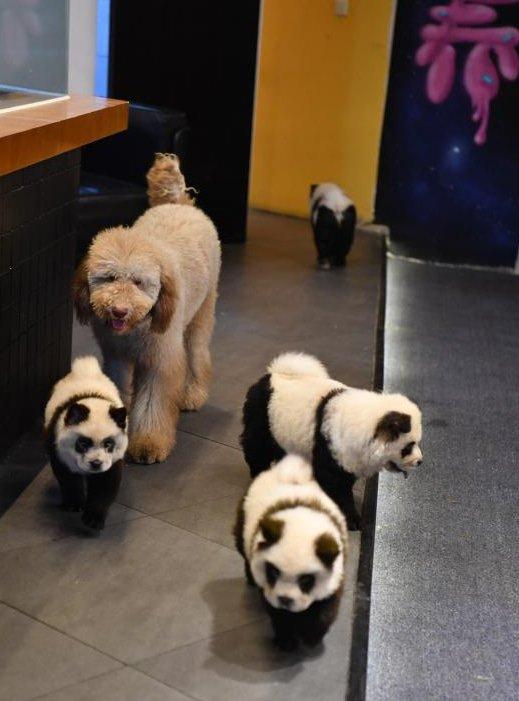 Власник кафе в Китаї «перетворив» собак в панд -  - 24 pandy
