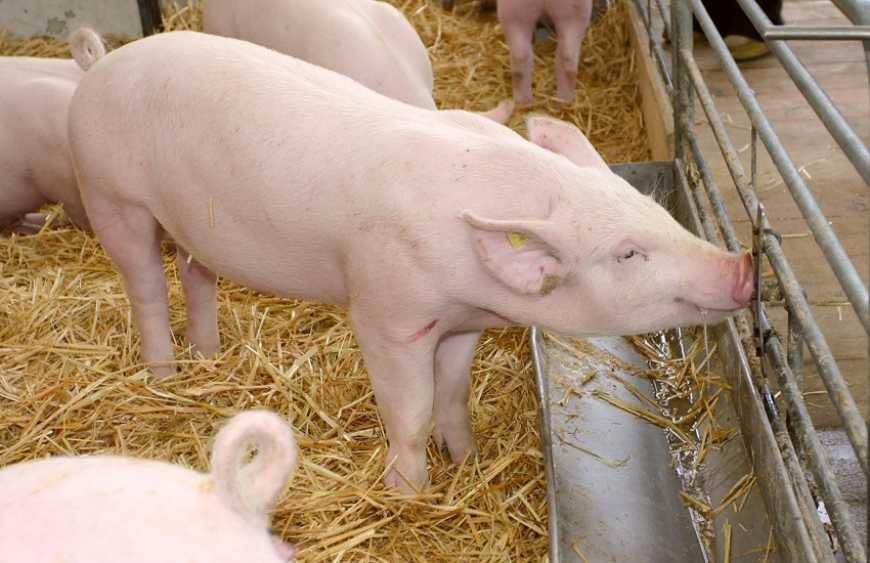 У Борисполі проведуть семінар з профілактики чуми свиней - семінар, Держспоживслужба, Бориспіль, Безкоштовно, Африканська чума свиней - 686f4675e4ed3c651755b00f68237848 M