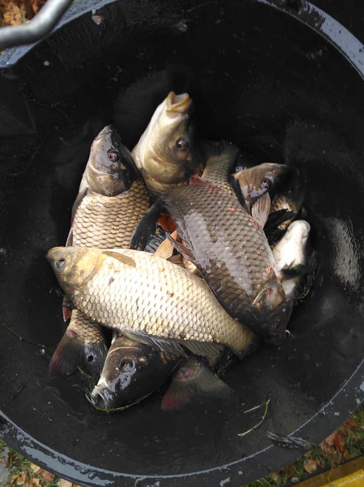 Зарибили ставок у Гостомелі: у водойму на Кимерці запустили 520 кг малька коропа - Табачук, риба, Приірпіння, київщина, зариблення, Гостомель - Zaryb Gost