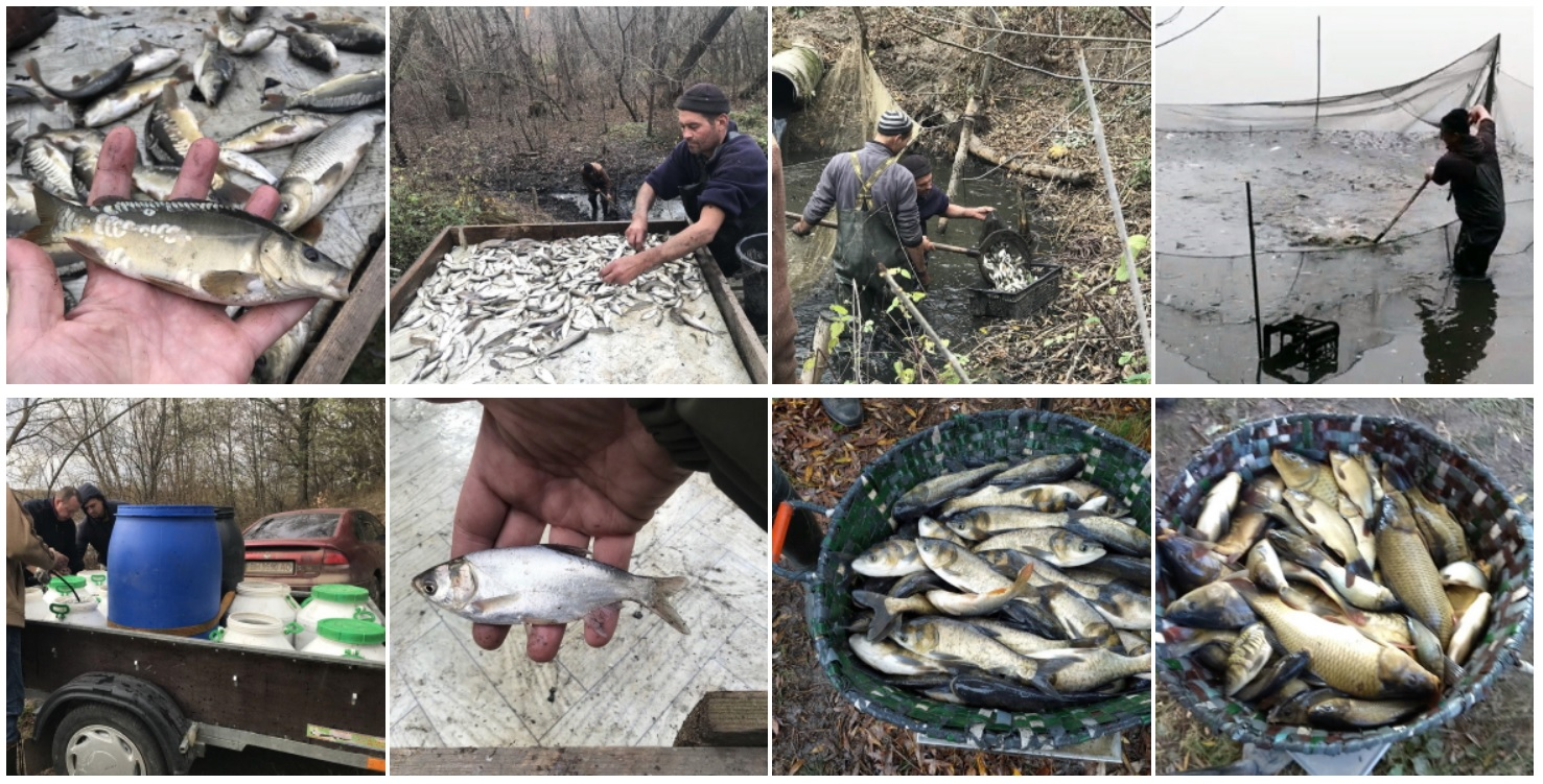 ivaia У водойми Білоцерківщини та Володарщини випустили майже 15 тонн риби