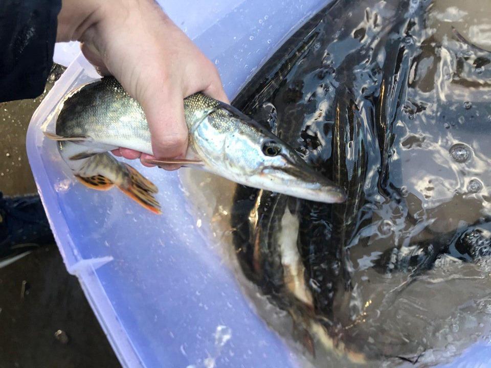 11006_RYba1 До Канівського водосховища запущено майже 7 тонн риби