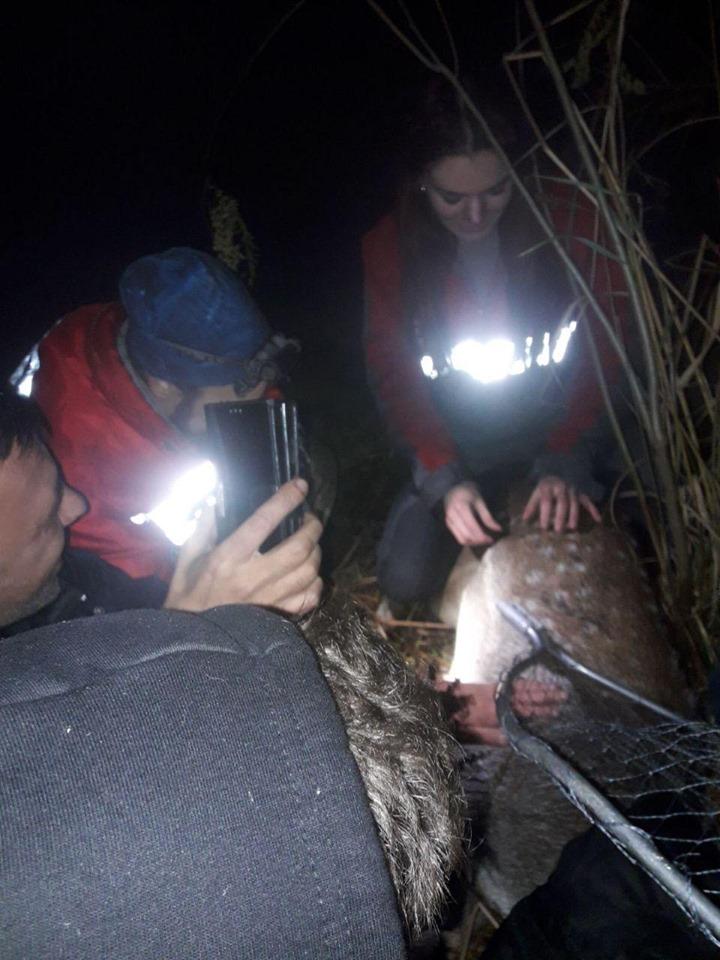 Врятована у Вишгороді лань не повернеться у дику природу -  - 1105 Lan2