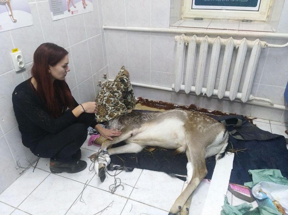 Врятована у Вишгороді лань не повернеться у дику природу -  - 1105 Lan7